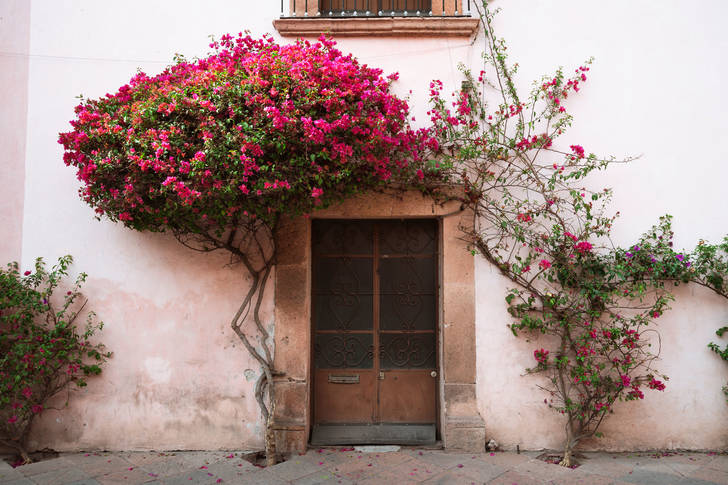Bougainvillea at the entrance to the house