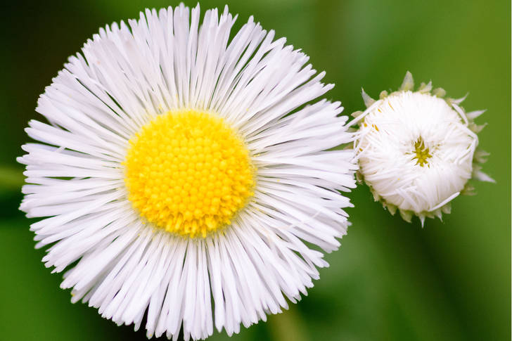 Indoor and outdoor chamomile flower