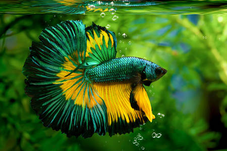 Betta splendens HM