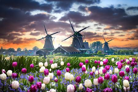 Tulip field and windmills