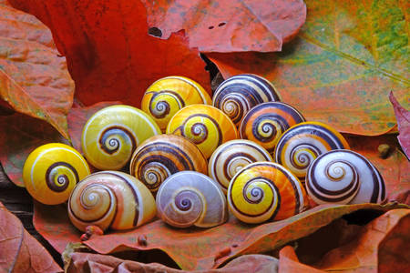 Colorful snails - Polymites
