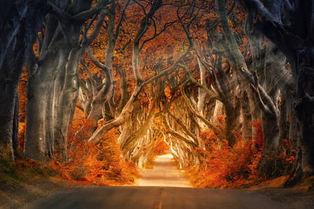 Beech Alley - Dark Hedges