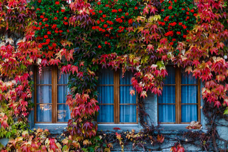Ivy-covered windows
