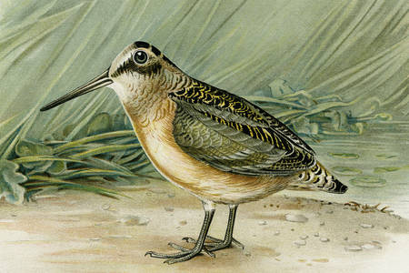 Woodcock bird illustration