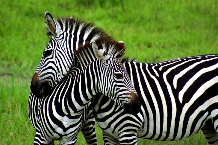 Zebras on a green background