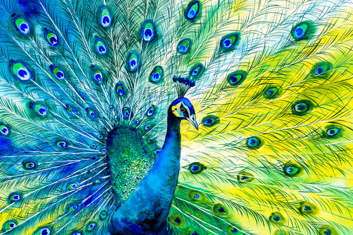 Multicolored peacock feathers