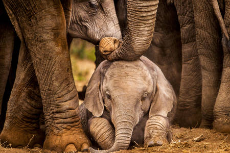 Baby elephant protected by adults