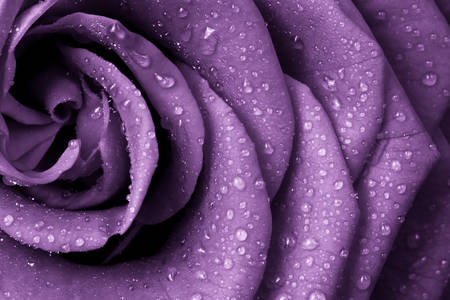Purple rose with dew drops
