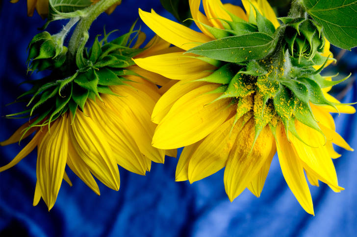 Sunflowers on a blue background