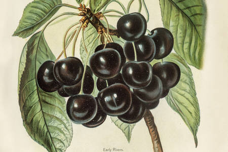 Illustration of early river cherries