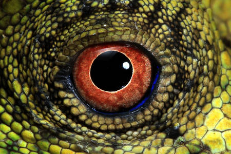 Forest Dragon Lizard Eye