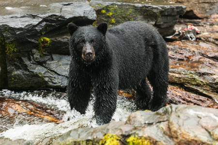 Black bear in a mountain river