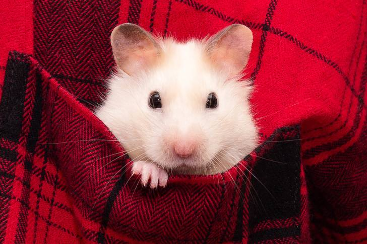 Hamster in a plaid shirt pocket