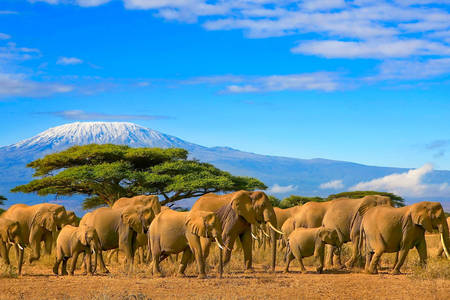 Elephants in the background of Kilimanjaro