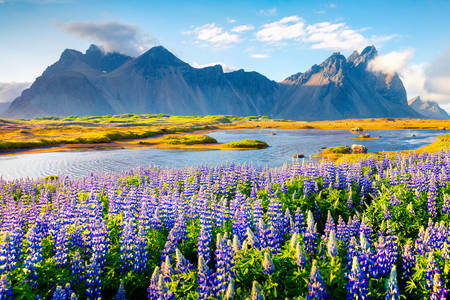 Lupine flowers at Stokksnes