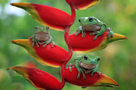 Australian tree frogs