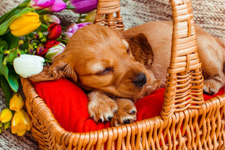 Cocker puppy sleeping in a basket