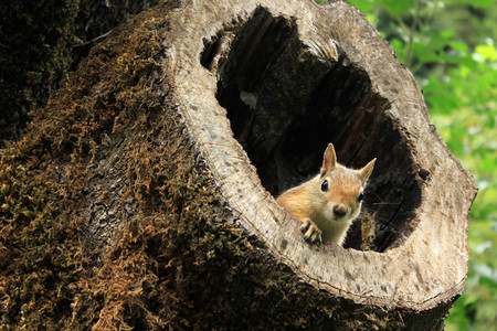 Squirrel in an old tree stump