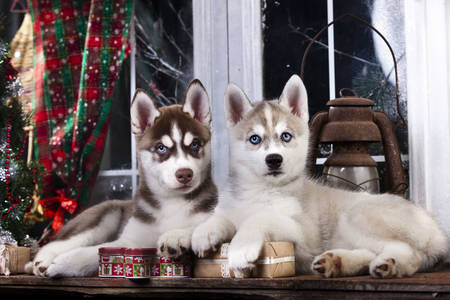 Husky puppies by the window