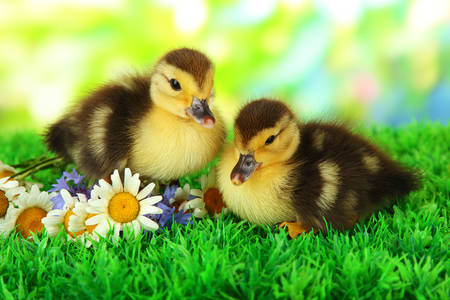 Ducklings on green grass