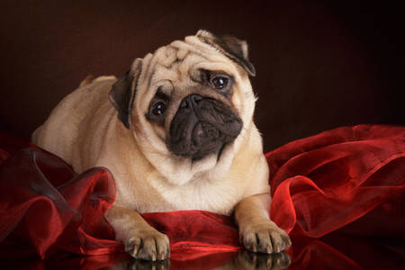 Pug on red organza