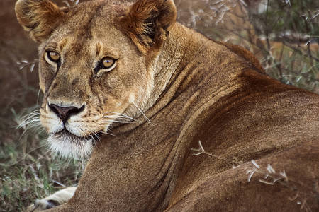 Wild female lion
